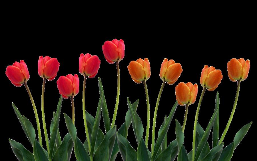 10-2-tulip-png-pic.png